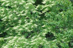 Sourwood trees in bloom
