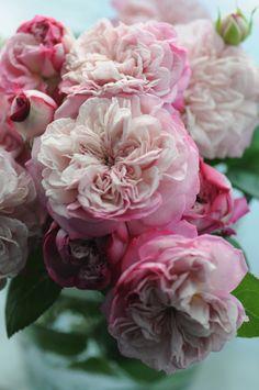 Shrub Rose: Rosa 'Paris' (Japan, 2013)