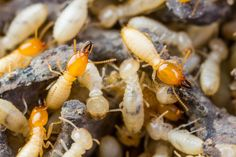Termite Control should need to be essentially considered to avoid pests and similar types of rodents. herbal pest control products to provide odorless and non-messy Rodent Control service, you can hir Best Pest Control, Pest Control Services, Bug Control, Termite Pest Control, Bees And Wasps, Pest Management, Humming Bird Feeders, Garden Guide, Cleaning