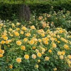 Molineux Hedging Collection - 10 Roses