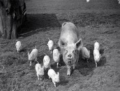 1957. Pig family coming to me in the Gateway, in the Pear Orchard, at Oakfild Farm, Chat Moss, Irlam, Lancashire, England. UK. Photo by Ted Motler.