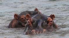Bumi Hills Safari Lodge - Flusspferde