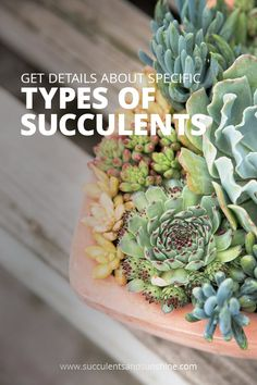 specific types of succulents here! Get in-depth information about specific types of succulents here! via in-depth information about specific types of succulents here! Different Types Of Succulents, Types Of Succulents Plants, How To Water Succulents, Growing Succulents, Succulents In Containers, Water Plants, Cool Plants, Cactus Plants, Bamboo Plants