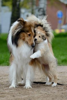 Collie Puppies, Collie Dog, Rough Collie Puppy, Beautiful Dogs, Animals Beautiful, Cute Animals, Cute Puppies, Cute Dogs, Dogs And Puppies
