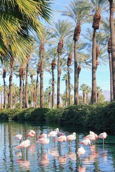 palm springs flamingos at jw marriott palm desert Palm Springs Kalifornien, Beautiful World, Beautiful Places, Palm Springs Style, Spring City, Spring Vacation, Vacation Ideas, Coachella Valley, California Travel