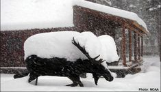 moose covered in snow