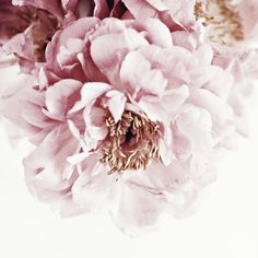 Pink peony © Natasha Calhoun