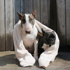 Neville jacobs the bull terrier & his frenchie friend
