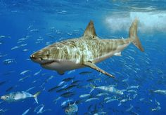 Great White Shark -- the largest predatory fish in the sea. In a year, a single Great White consumes about 11 tons of food.