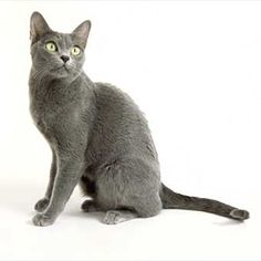 The Korat breed is a popular domestic cat much desired by cat fanciers. Ryu, our korat cat. Popular Cat Breeds, Rare Cat Breeds, Pet Breeds, Korat Cat, Hate Cats, Cat Photography, Grey Cats, Domestic Cat, Cool Pets