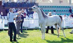 النتائج النهائية لبطولة الإمارات الوطنية لجمال الخيول العربية ٢٠١٣