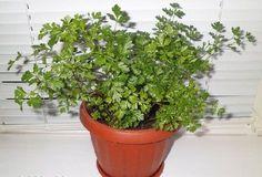 Растение, убивающее рак с метастазами