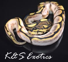 Calider Ball Python by K&S Exotics - MorphMarket USA