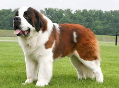 Biggest Saint Bernard pictures