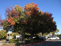 This tree is representing fall to it's maximum potential .. we need more trees in Dallas.