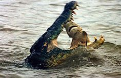 A 15ft saltwater crocodile eats a shark on the Wildman River, Northern Territory, Australia