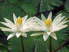 Flores de lotus