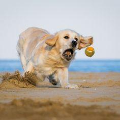 Un cane da tennis
