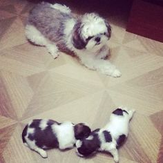 Mommy and babies  #mabmab #littleching #littlechung #forsale #dogtime
