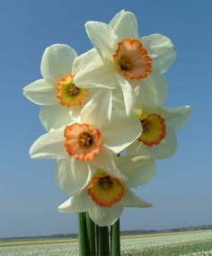 Narcissus Coral Light - Large Cupped - Narcissi - Flower Bulbs Index