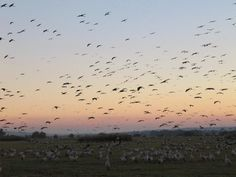 Birds in the Hula Valley, north of Israel.