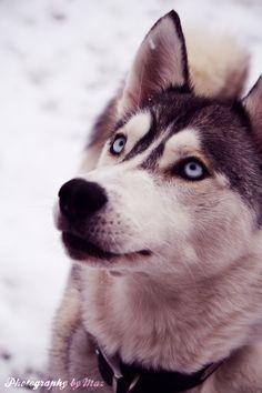 husky...I want this dog