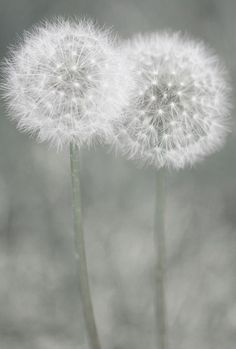 Dandelions Photograph - Moment Of Tenderness by The Art Of Marilyn Ridoutt-Greene