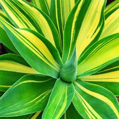 A. attenuata 'Variegata' ...Plus a list of 16 Gorgeous Agava plants (A couple other spineless options)
