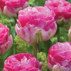 Incredible 'Pinksize' reminds us of Peonies and can look good enough to eat. Large, double flowers have layer Types Of Flowers, Cut Flowers, Rose Pompon, Mail Order Plants, Planting Tulips, Tulip Bulbs, Flower Names, Root System, Rosy Pink