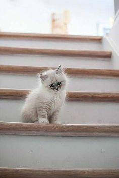 """""""Tired of stairs. Come get me Humin Slave....."""" #catandkitten"""