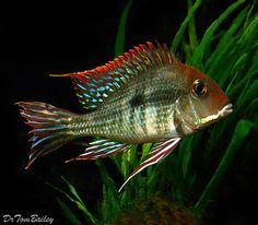 """Scientific name: Geophagus (species) """"Red Head Tapajos"""" Aquarium Fish For Sale, Tropical Aquarium, Tropical Fish, Aquarium Ideas, Tropical Freshwater Fish, Freshwater Aquarium Fish, South American Cichlids, Fish Breeding, Cool Fish"""