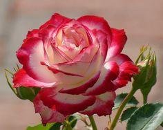 Mk j hd Beautiful Rose Flowers, All Flowers, Types Of Flowers, Exotic Flowers, Amazing Flowers, Beautiful Gardens, Wallpaper Nature Flowers, Flower Phone Wallpaper, Rose Wallpaper