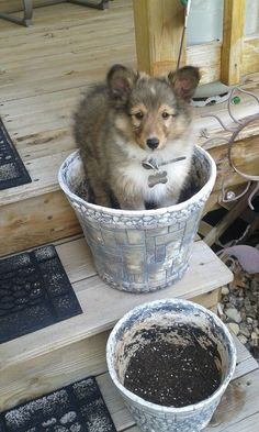 Sheltie puppy wanting to be a plant (: