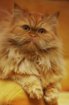 """""""Cat: A Pygmy lion who loves mice, hates dogs and patronizes human beings."""" --Oliver Herford"""