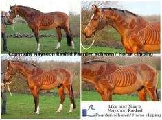 Like & Share: https://www.facebook.com/pages/Maysoon-Rashid-Paarden-scheren-Horse-clipping/228539823953948