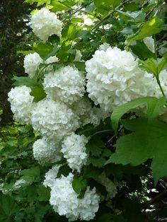 Rózsa, rózsa labdarózsa levele... Giant Flowers, Love Flowers, White Flowers, Beautiful Flowers, Flowering Bushes, Lilac Bushes, Backyard Plants, Garden Shrubs, Moon Garden