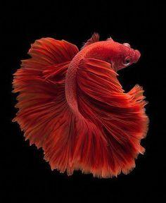 Red halfmoon Betta fish on black backg… Koi Betta, Betta Fish Tank, Beta Fish, Halfmoon Betta, Colorful Fish, Tropical Fish, Betta Fish Types, Carpe Koi, Siamese Fighting Fish