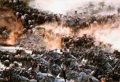 Estampida de ñus y zebras