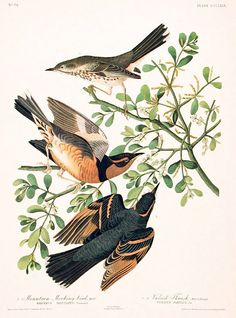 Mountain Mocking-bird, Varied Thrush. From The Birds of America Amsterdam Edition by John James AUDUBON on Audubon Galleries