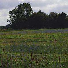 #Kornblumenfeld #Kornblumenblau #Kontrast #Wolkenspiel #Himmel #Sommer #trotz schlechter #Wettervorhersage