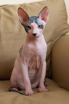 The Sphynx cat is a curious and intelligent cat. If you are interested in getting this cat as your pet, read more about the Sphynx cat breed here. Crazy Cat Lady, Crazy Cats, Cute Cats, Funny Cats, Baby Animals, Cute Animals, Sphinx Cat, Cornish Rex, Cat Sitting