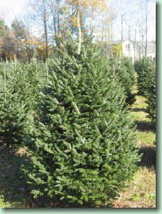 Balsam Fir have short, soft needles, good needle retention, and are famously fragrant. They are native throughout much of Canada and the northeastern US, and are the most traditional Christmas tree choice in New England.