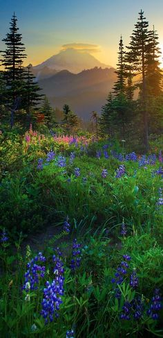 Wildflower meadow and Mt. Rainier. Beautiful but deadly if it erupts again.
