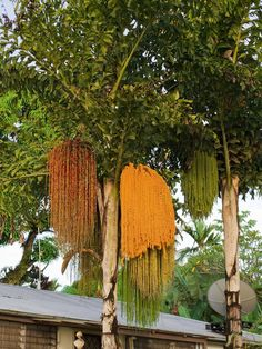 Fishtail Palms-harvest the flower shoots for its juice-drink it raw or fresh or boiled to create a thick syrup Exotic Flowers, Small Flowers, Exotic Fruit, Amazing Flowers, Tropical Landscaping, Landscaping Plants, Tropical Garden, Unusual Plants, Cool Plants