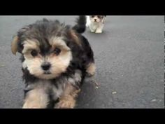 Adorable little Morkies - 