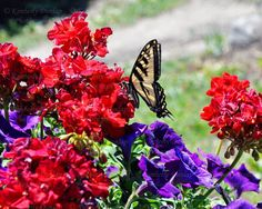 Swallowtail Butterfly Photograph {Nature Picture, Wildlife Photography, Butterflies Print, Yellow Black Bug Wings, Red Purple Flower Photo}