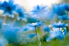gorgeous blue daisies!!  love this photo by sparksoffire on etsy