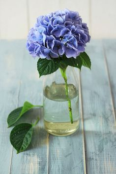 Single blue hydrangea in vase - (flowers, blooms, blossoms, posies)