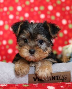 Oh so cute!! 🐾😍 Sweet and very #Playful, #YorkshireTerrier pups are lovable, fun to be with #FurBuddies. They have a wonderful personality, are #Affectionate and so full of energy. #Charming #PinterestPuppies #PuppiesOfPinterest #Puppy #Puppies #Pups #Pup #Funloving #Sweet #PuppyLove #Cute #Cuddly #Adorable #ForTheLoveOfADog #MansBestFriend #Animals #Dog #Pet #Pets #ChildrenFriendly #PuppyandChildren #ChildandPuppy #LancasterPuppies www.LancasterPuppies.com Yorkie Puppy For Sale, Puppies For Sale, Puppy Love, Small Dog Breeds, Small Dogs, Lancaster Puppies, Yorkshire Terrier Puppies, Gif Animé, Animals Dog