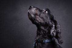 https://flic.kr/p/MNV1Gz | Mylo | Mylo, my English Cocker-Spaniel, has been itching to get back into the studio. Since he's not long had his hair cut and looks smart again I thought I would invite him in. Shot with a 180W studio flash with a 50x70cm softbox set above and to the left of him (right of me). Camera set up was Canon 5D2 with 17-40mm lens. Background is a piece of black foam and his attention was held with a piece of dog food.